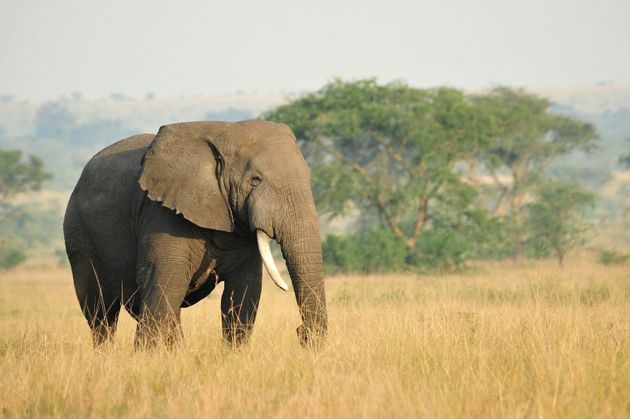 Elephants were among the most vulnerable to climate change effects, the study