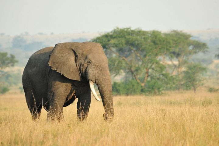 Elephants were among the most vulnerable to climate change effects, the study found.