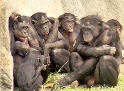 "Social gathering of six bonobos at the San Diego Zoo. (<a rel=""nofollow"" href=""https://en.wikipedia.org/wiki/File:6_bonobos_W"