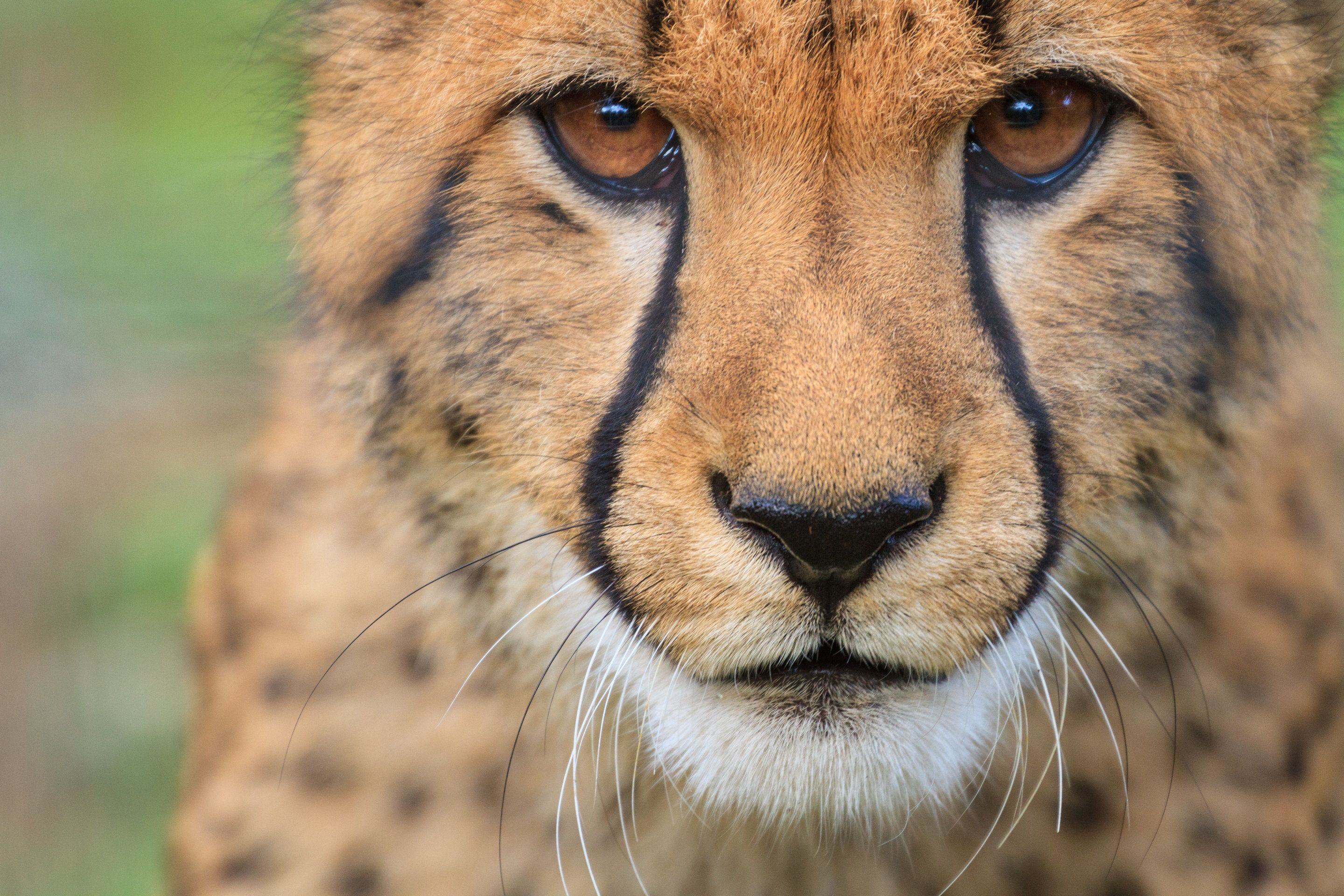 Young male cheetah close up