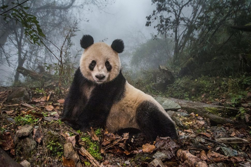 Ye Ye, a 16-year-old giant panda, lounges in a massive wild enclosure at a conservation center in Wolong Nature Reserve. Her