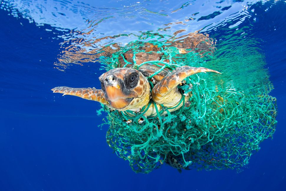A sea turtle entangled in a fishing net swims off the coast of Tenerife, Canary Islands, Spain, on June 8, 2016. Sea turtles