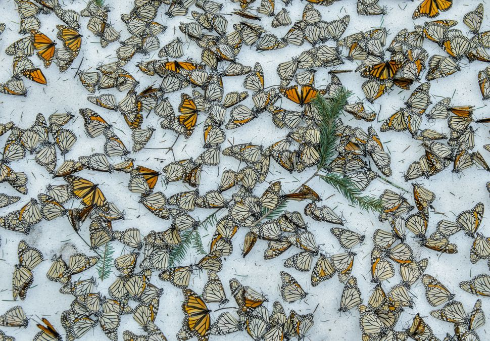 A carpet of monarch butterflies covers the forest floor of El Rosario Butterfly Sanctuary, in Michoacan, Mexico, on March 12,