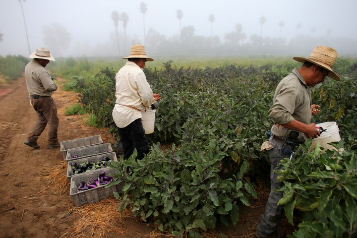 Farm workers pick eggplant on a farm in Rancho Santa Fe, California. President Donald Trump's immigration proposals coul