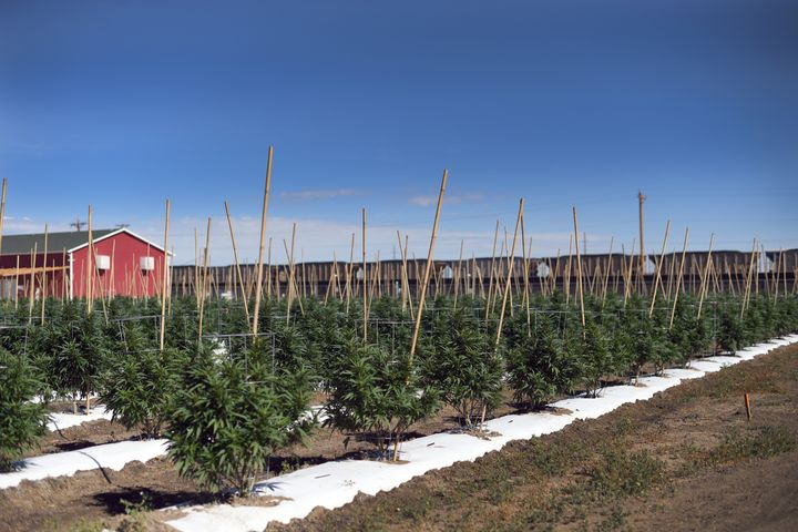 Marijuana plants grow on 36 acres of farmland in Pueblo County that Los Sueños Farms LLC leased to four licensed