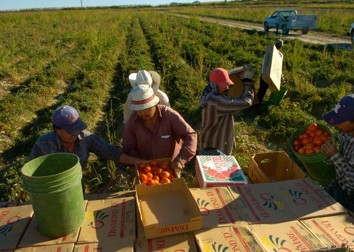 Migrant laborers picking tomatoes on the Hanagan farm outside Swink in the Arkansas Valley. An estimated 50-70 percent o