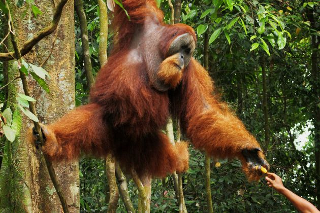 Orangutans Are Now One Step Closer To