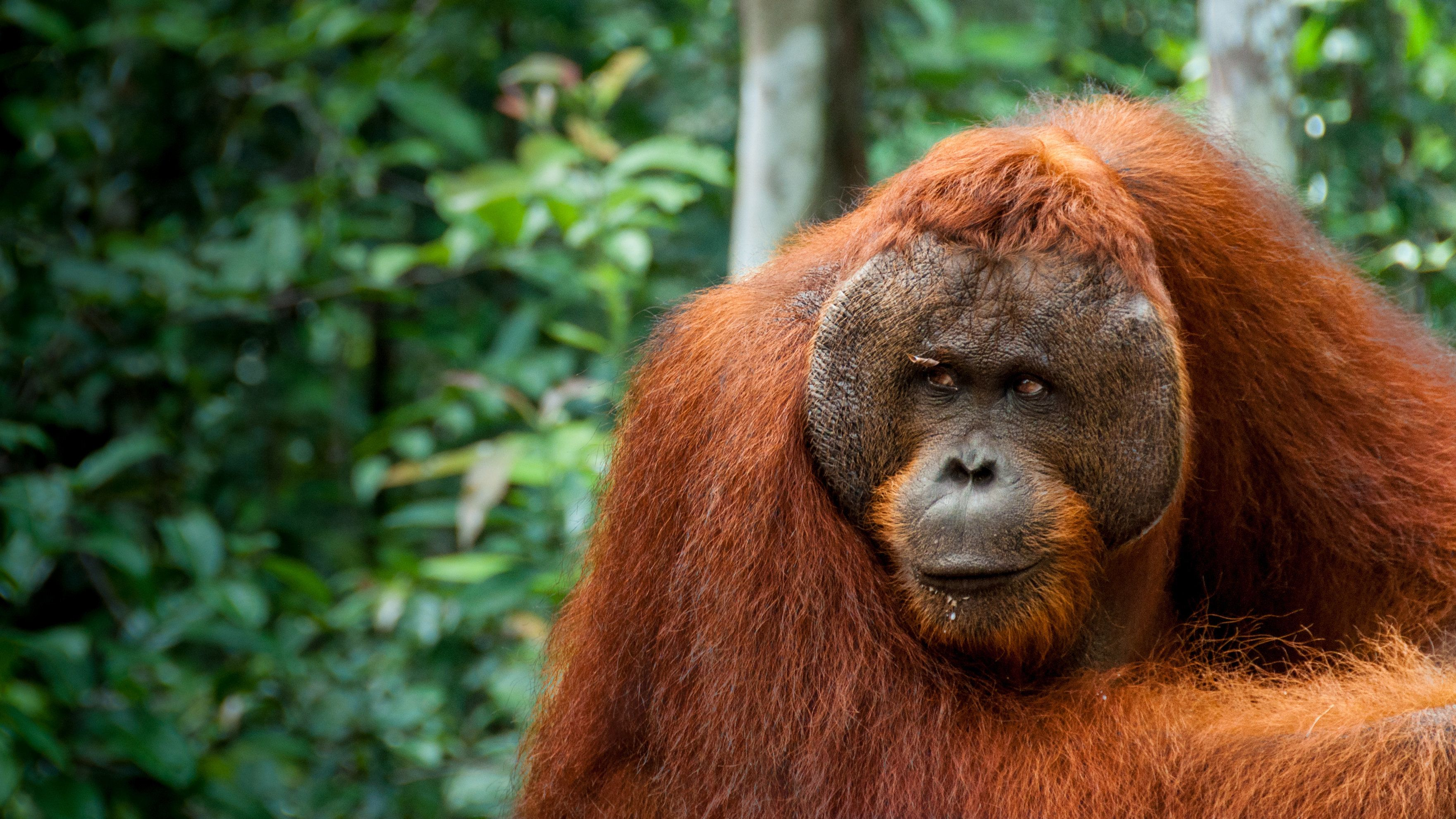 Orang Utan Alpha male resting in Borneo