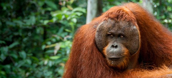 Palm Oil Workers Investigated For Killing, Eating Endangered Orangutan