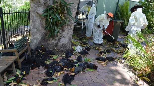Richmond Valley Council workers removing dead bats on Tuesday morning following the weekend heatwave.