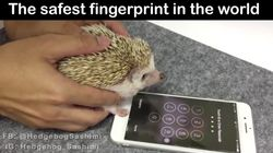 An iPhone-Unlocking Hedgehog Has Become A Hero On