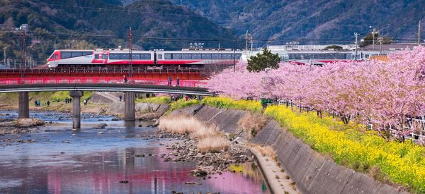 Early-Blooming Cherry Trees Have Made This Town A Colorful Wonderland