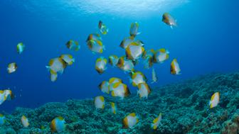 (GERMANY OUT) Shoal of Pyramid Butterflyfishes, Hemitaurichthys polyepis, Molokini Crater, Maui, Hawaii, USA   (Photo by Reinhard Dirscherl/ullstein bild via Getty Images)