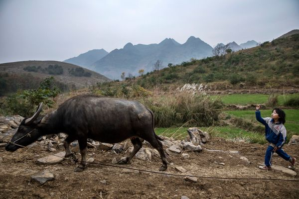 Luo Hongni, 11, throws a stone as she tends to one of the family's cows.