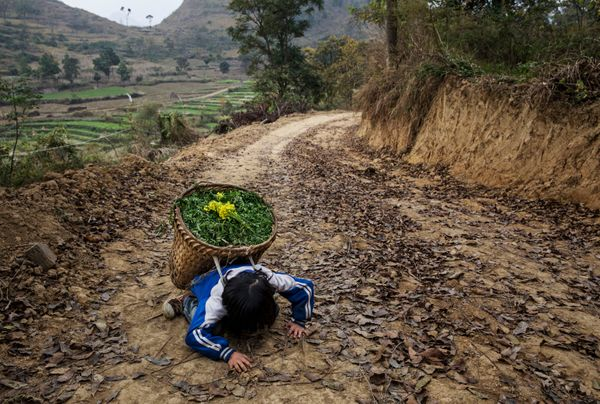 Luo Hongni, 11, collapses from the weight as she carries flowers while doing chores in the fields.