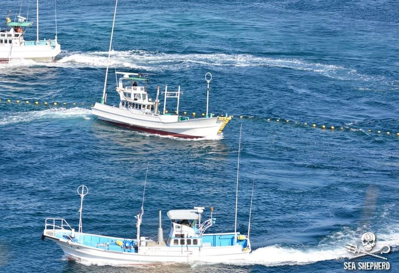 Nets surrounding the small pod of Risso's  to drag them into the Death-Cove