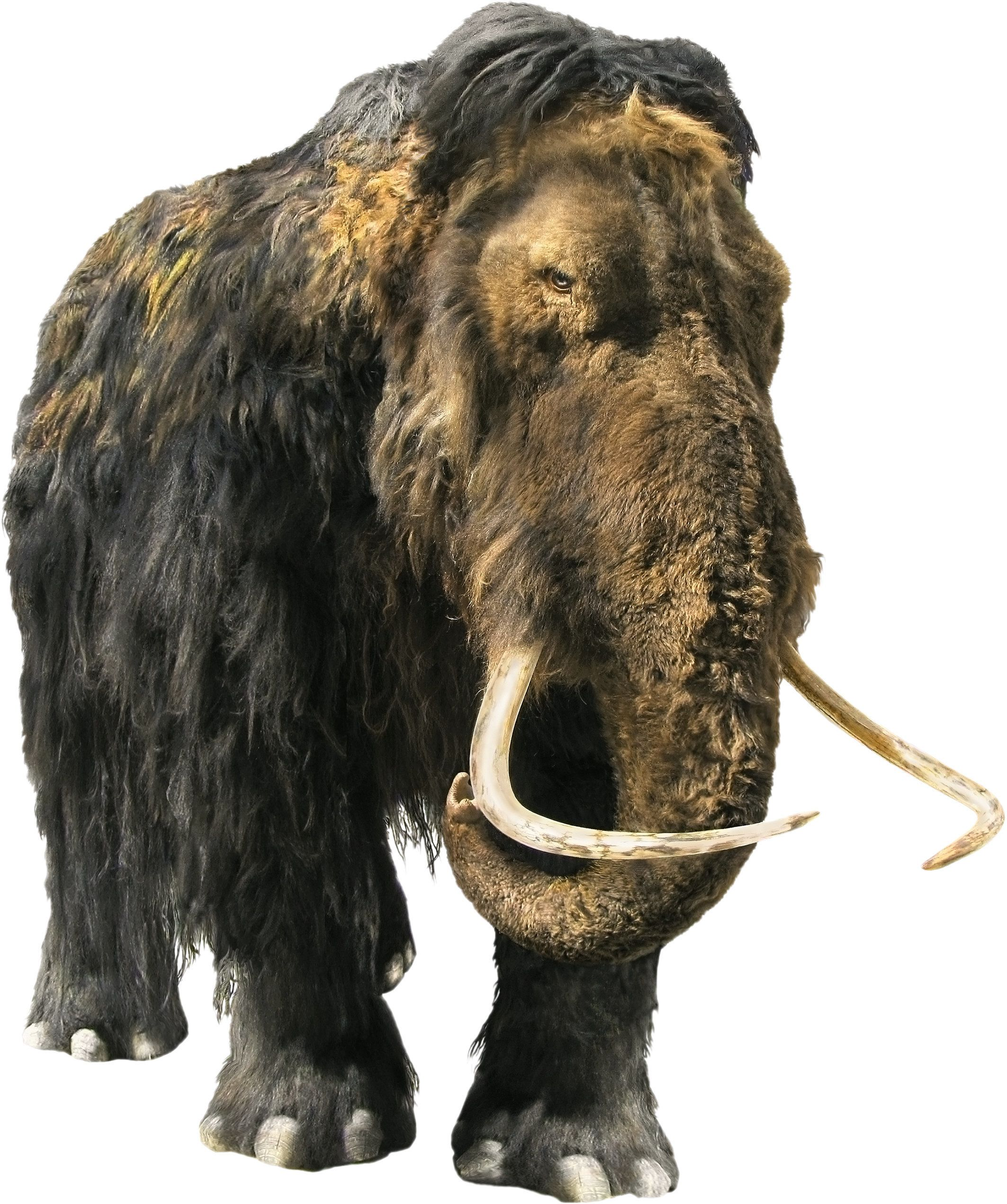 Isolated image of a mammoth on white background.