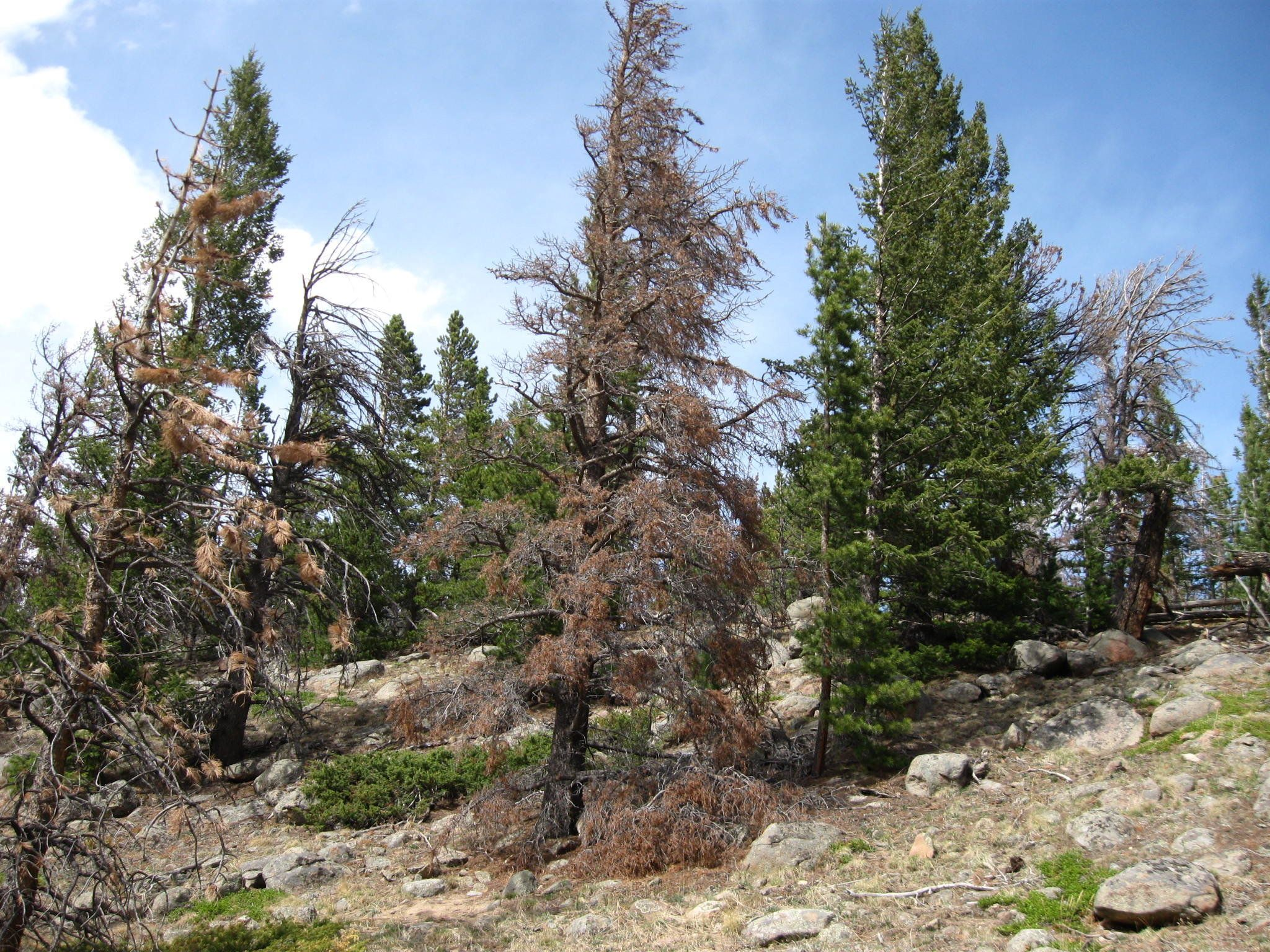 This stand of conifers in Rocky Mountain National Park includes some thathave turned red after being infested by mounta