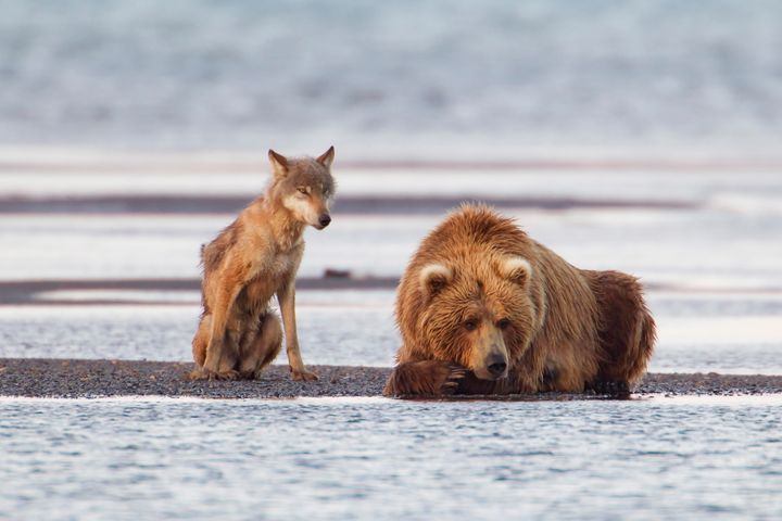 A female coastal brown bear and 1-year-old gray wolf resttogether after fishing for salmon in Alaska's Katmai National