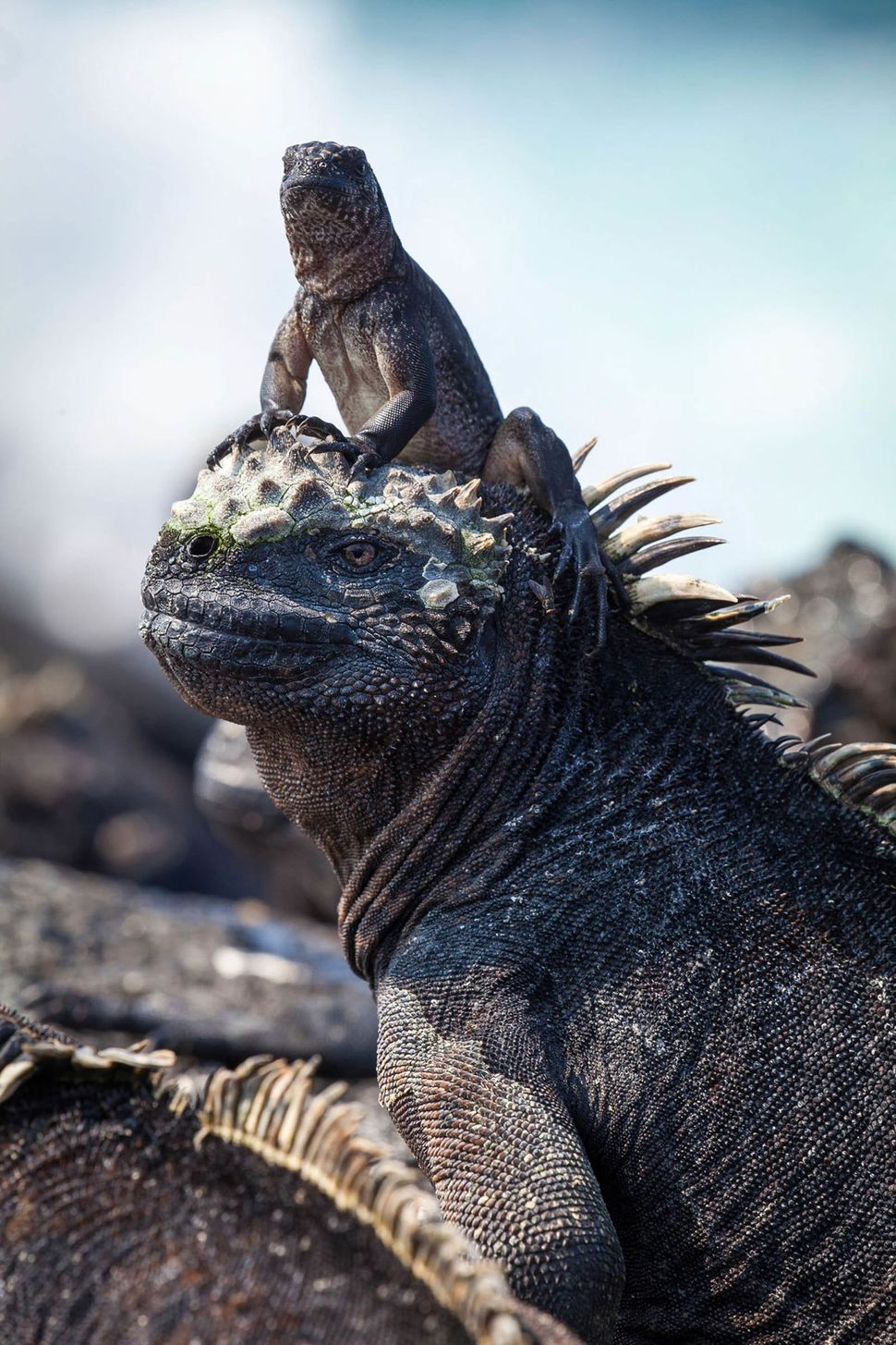 A marine iguana in the Galapagos Islands.