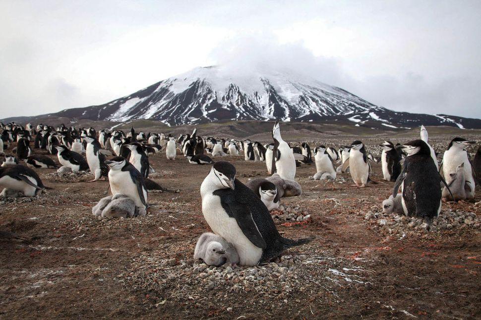 Penguins on Zavodovski Island.