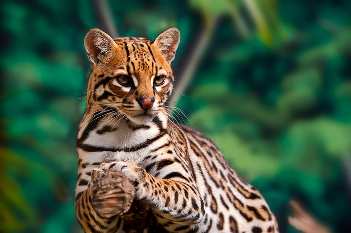 The ocelot is one endangered animal that would be threatened by Trump's wall.
