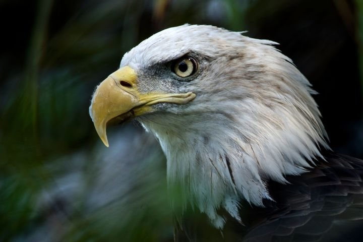 The bald eagle's habitat would be threatened by the border wall.