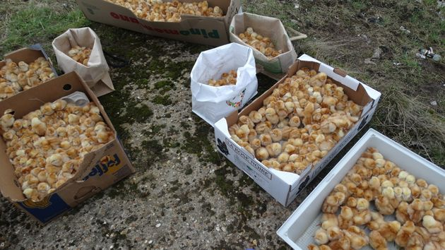 It is believed the chicks came from a commercial chick producer