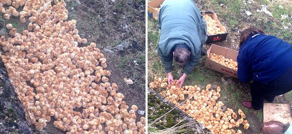 Someone Dumped 1,000 Tiny Chicks In A Field And Left Them To Die