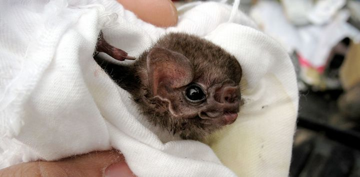 Does Vampire Bats Drink Human Blood