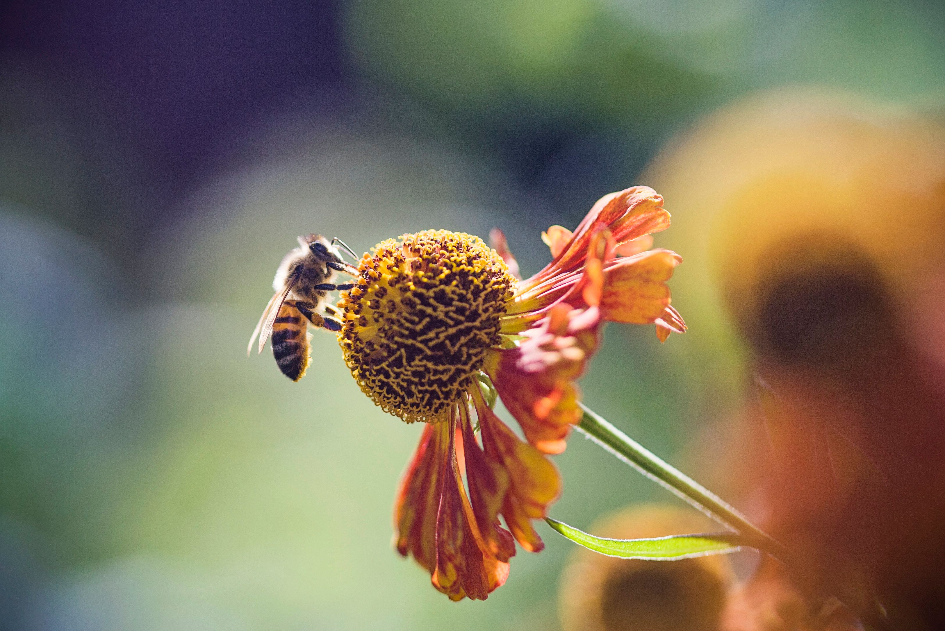 A honeybee perches on a flower.