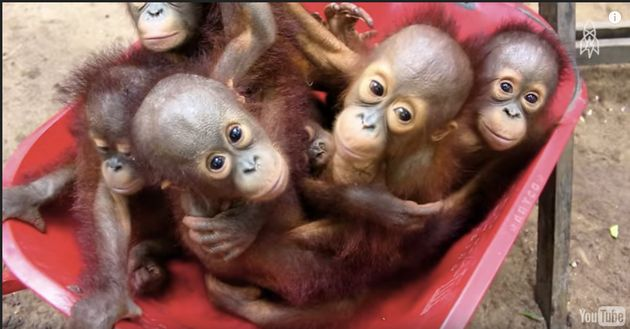 Great Big Story documents how International Animal Rescue rehabilitates orphaned orangutans in Borneo.