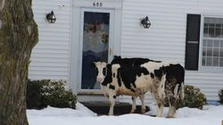 Warning: Escaped Cattle Selling Dairy Products Door To