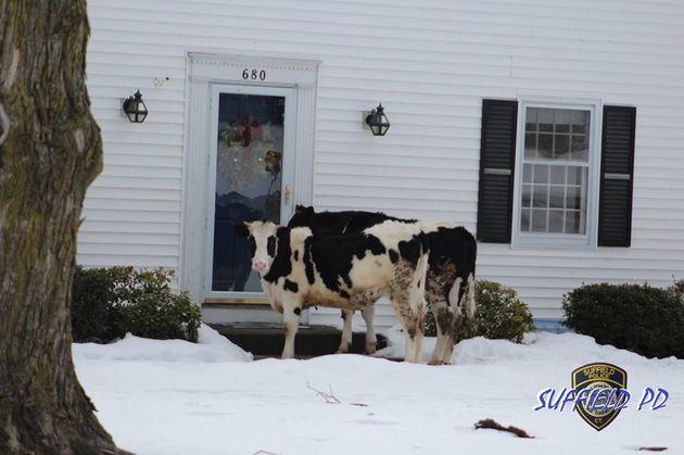 「逃げ出した牛が乳製品を売り歩いている」警察が警告(画像)