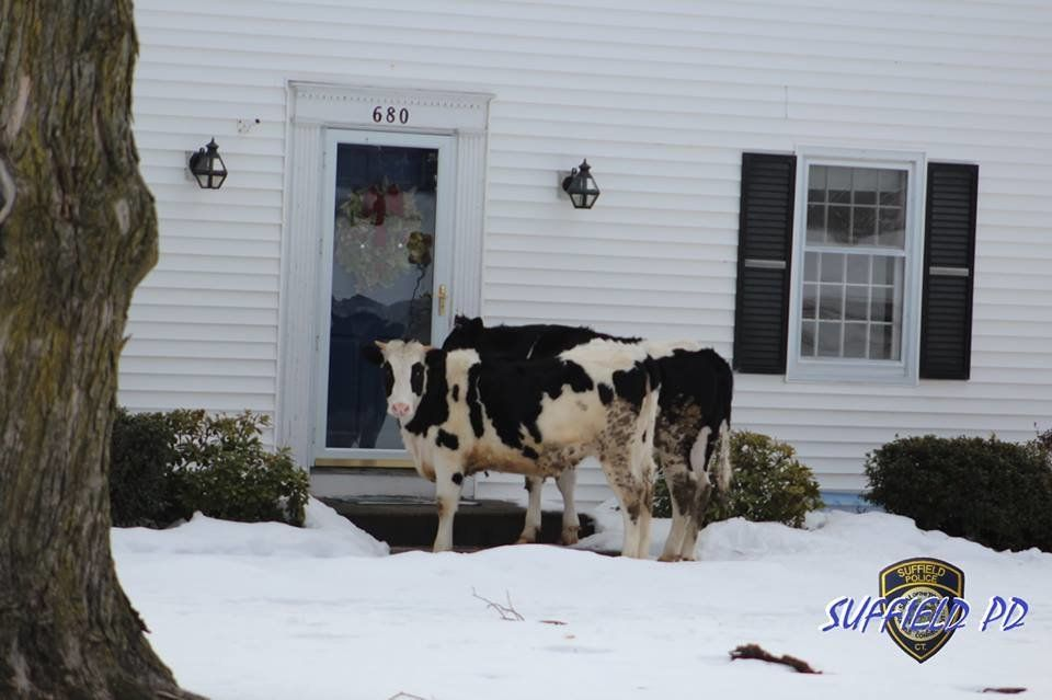 "Police in Suffield, Connecticut jokingly warned the public on Sunday not to open their doors to cattle ""trying to sell dairy"