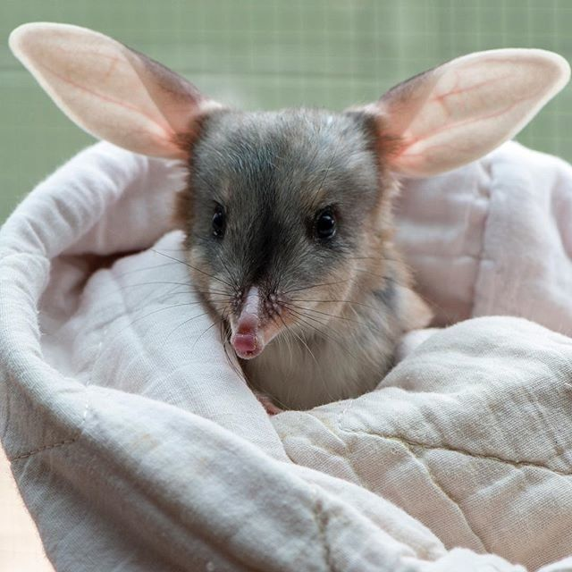 This is Tinka a three-month old Great Bilby