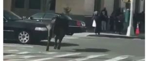 LOOSE COW