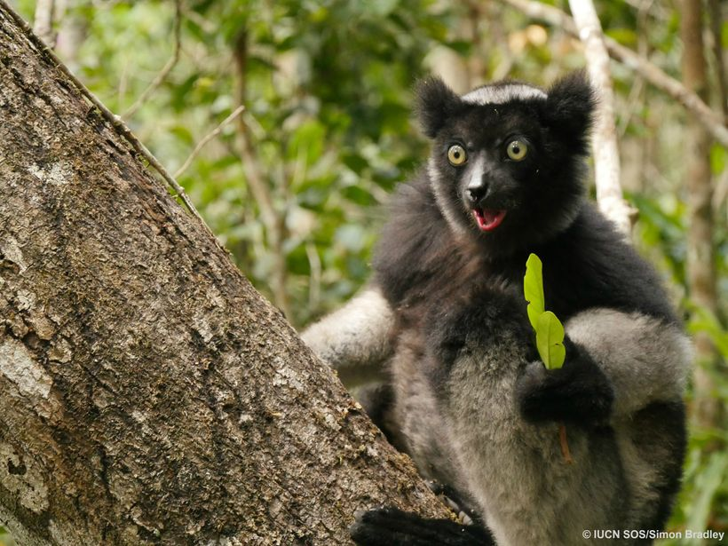 Critically Endangered Indri