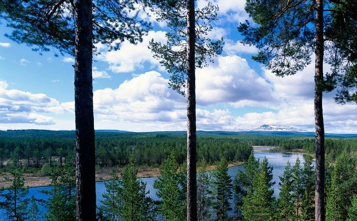 <p>The majority of Sweden's forests contain coniferous Norway spruce and Scots pine. Both are frequently used to build homes and other large structures.</p>