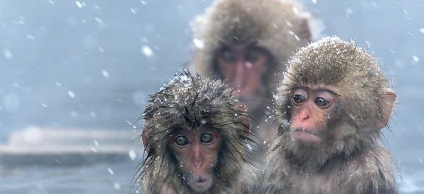 Japanese Zoo Slammed By Wildlife Campaigners After Culling 57 Snow Monkeys