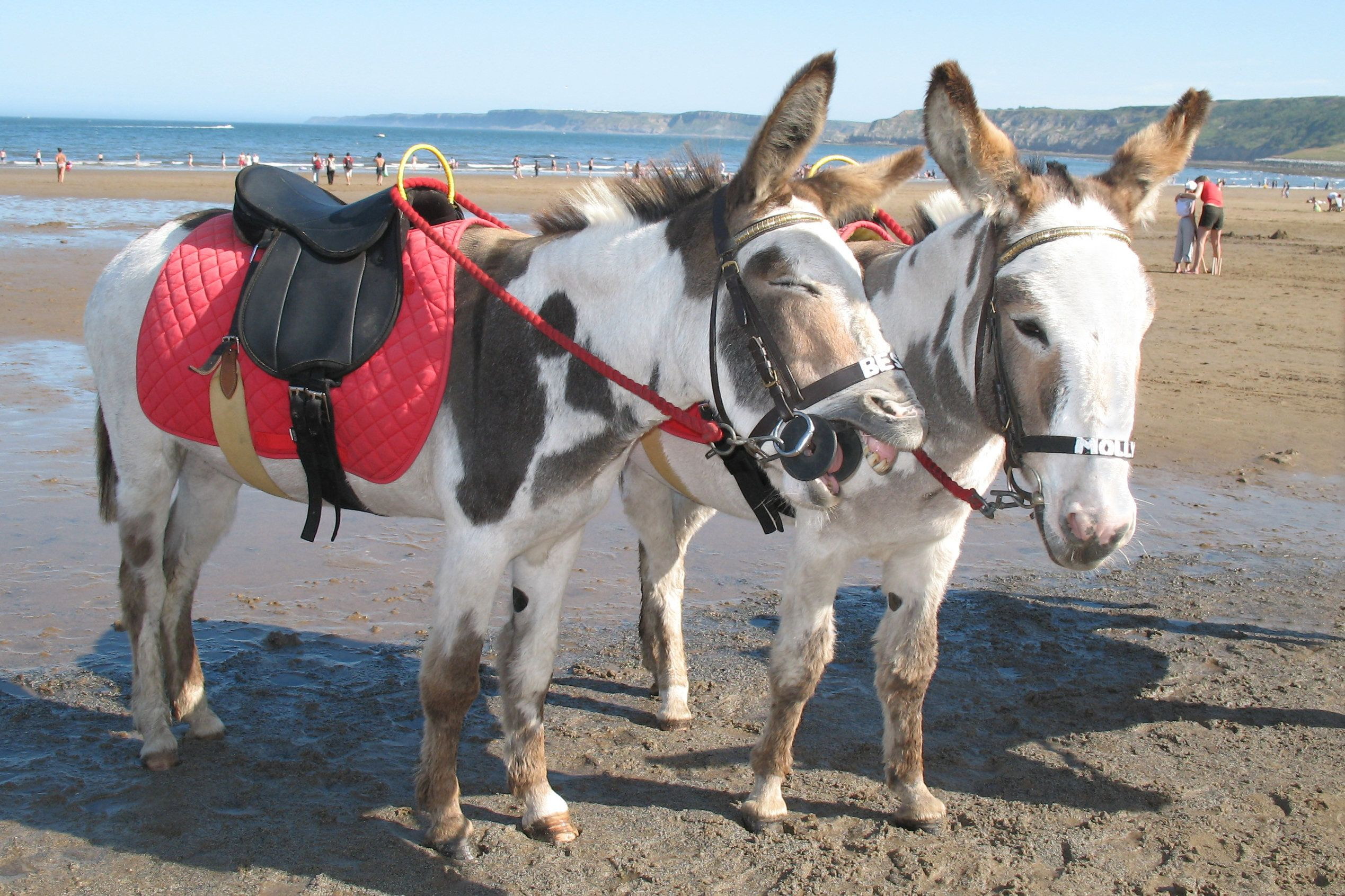 Two Donkeys on the beach.  One of the Donkeys is braying.