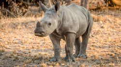Poachers Take Hostages And Kill Rhinos In 'Vicious Attack' On Animal