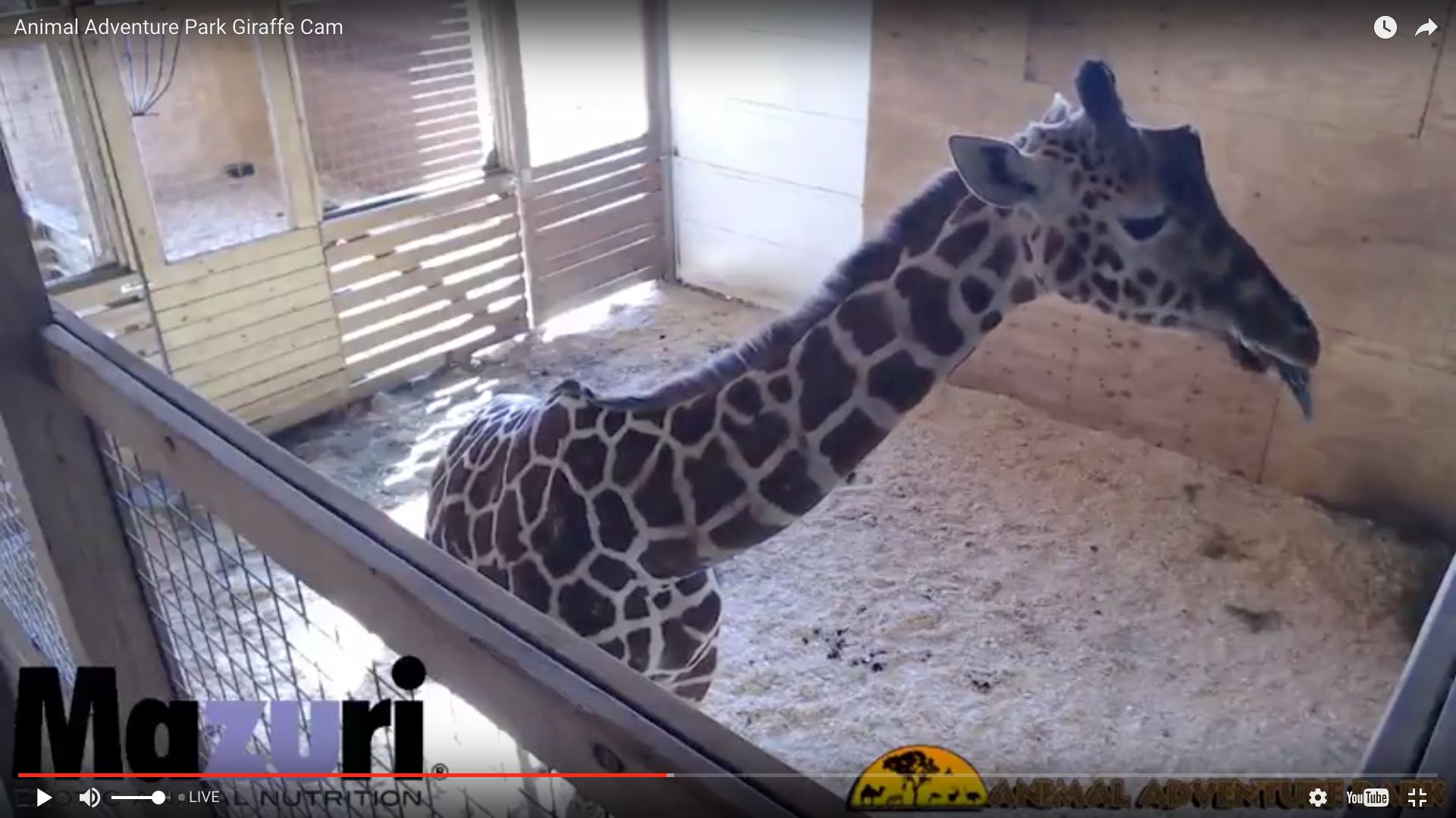 Video Of Giraffe About To Give Birth Removed For 'Nudity And Sexual