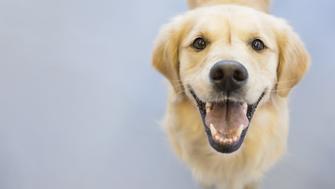 Portrait of smiling Golden Retriever