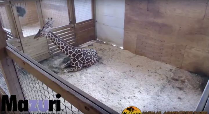 The live stream has allowed millions of people a peek into the giraffe's upcoming birth.