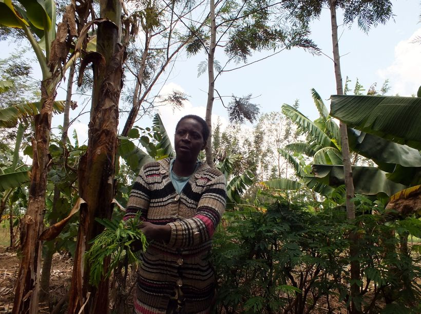 Prisca Mayende gathers fodder on her tree-dense farm...