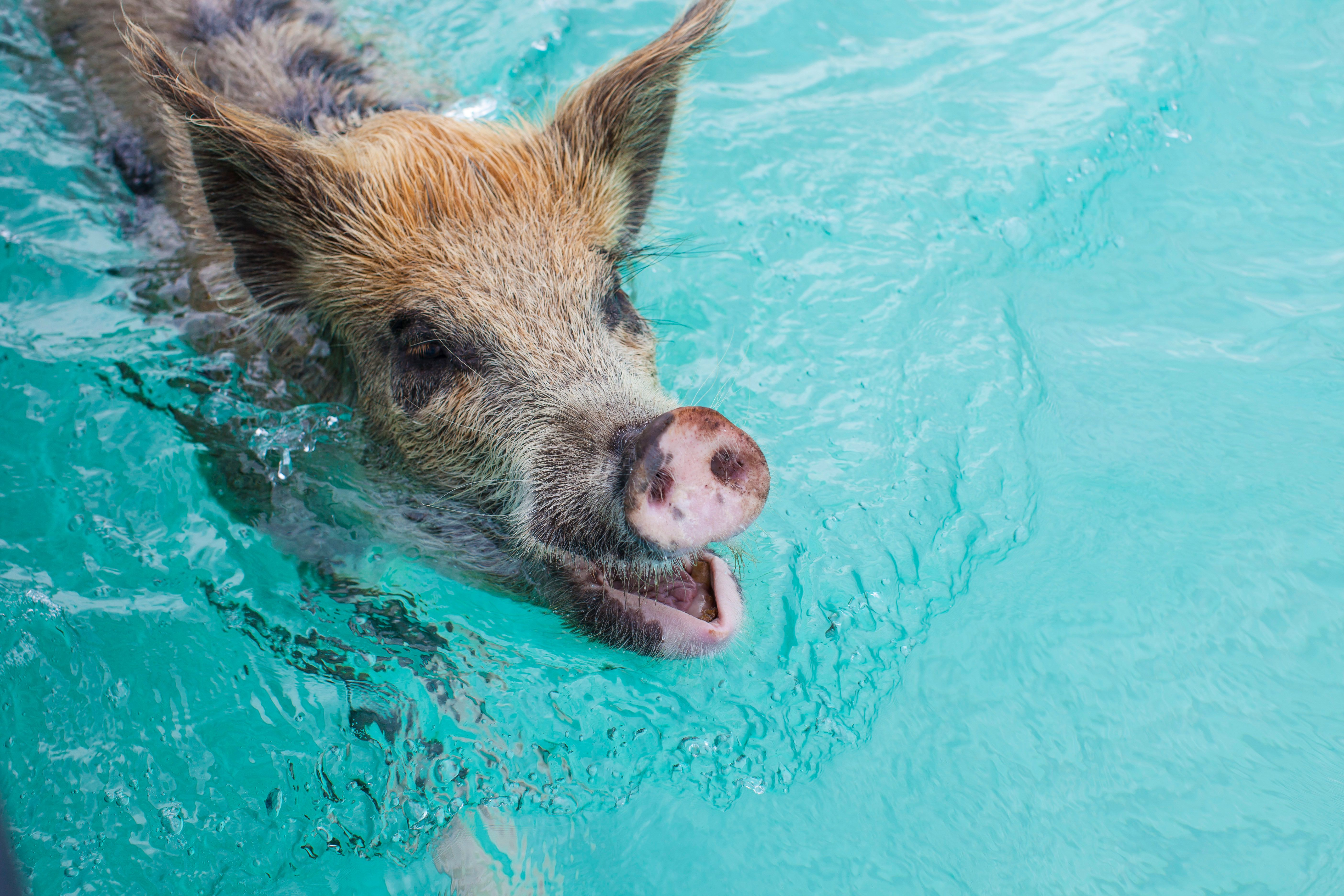 One of the famous swimming pigs in