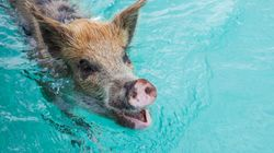 Beloved Swimming Pigs Of The Bahamas Found