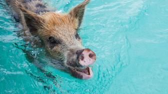 EXUMAS, THE BAHAMAS - JUNE 15:  The famous swimming pink pigs at Staniel Cay on June 15, 2012 in the Islands of the Exumas, The Bahamas. (Photo by EyesWideOpen/Getty Images)