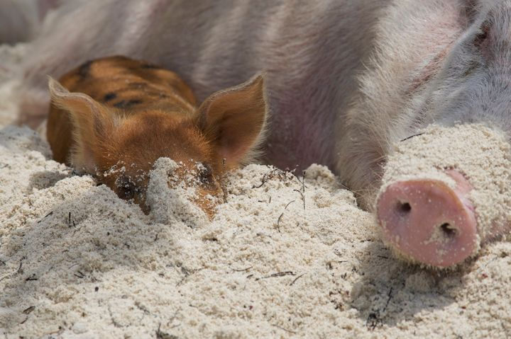 A mother and baby pig on the beach.